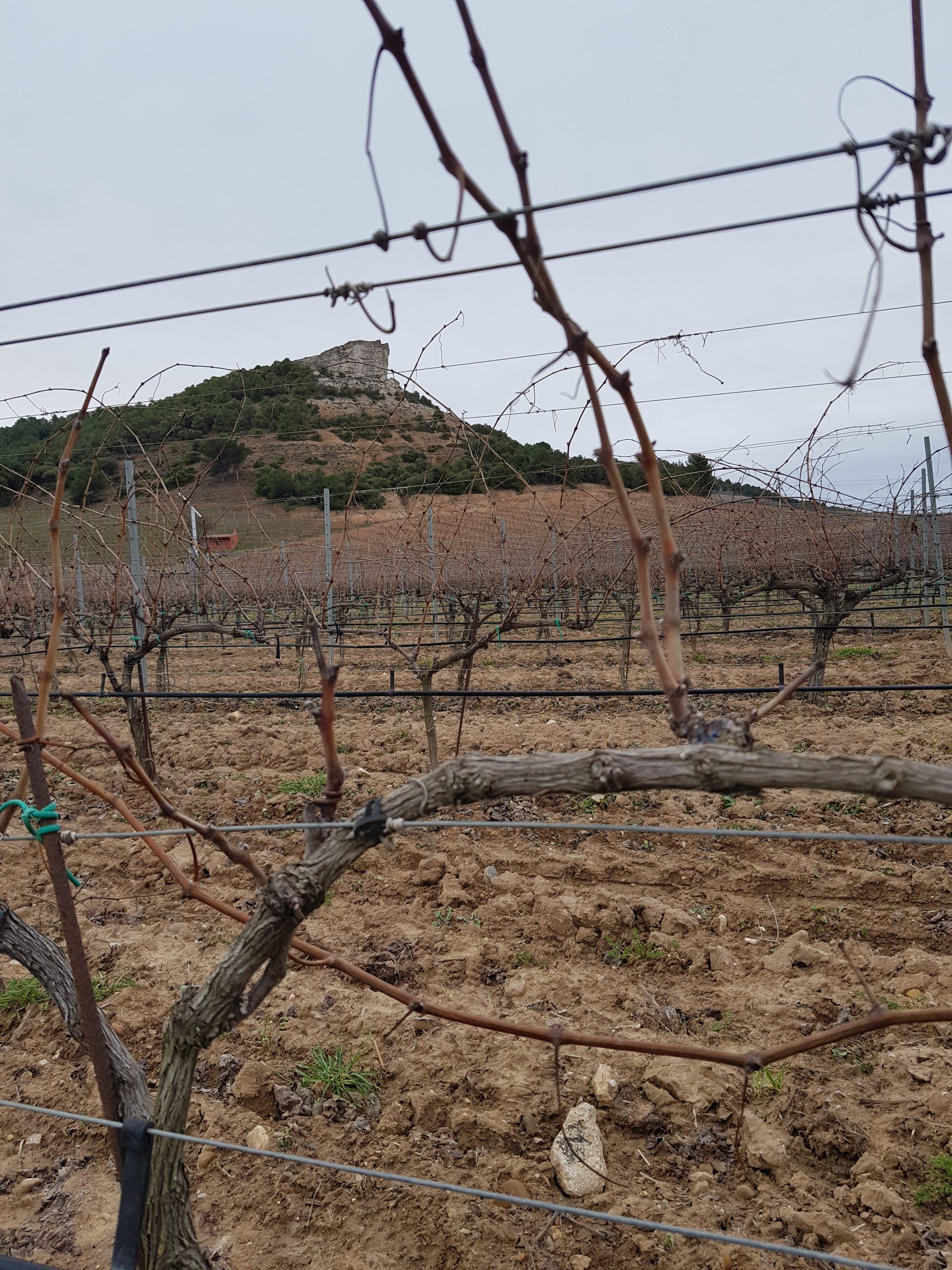 Duero vine view